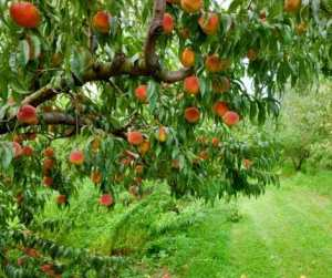 Magical Metaphysical Healing Properties of Trees - Peach