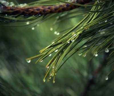 Aromatherapy and Herbs for Yule - Pine