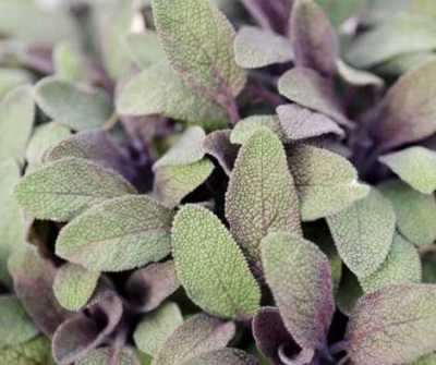 Aromatherapy and Herbs for Yule - Sage