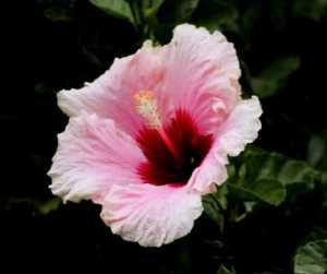 Love Magic Spells Rituals Hibiscus