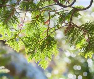 Protection Magic Herbs Cedar