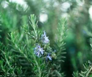 Rosemary Herb Magick Spells Rituals Protection