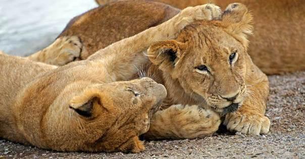 Fotoreise_Fotosafari_Fotoworkshop_Benny-Rebel_Afrika_Tansania_035_Loewe