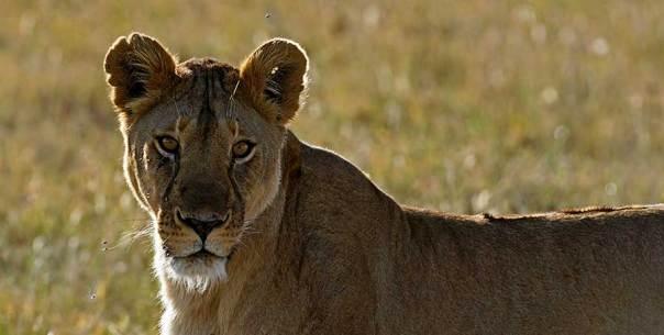 Fotoreise_Fotosafari_Fotoworkshop_Benny-Rebel_Afrika_Tansania_043_Loewe