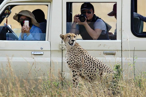 Gepard-Masai-Mara-Fotoreise-Fotosafari_Kenia_DSC5502
