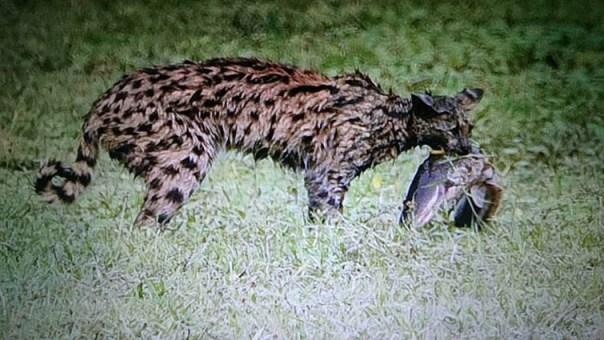 Serval-Lake-Amboseli-Fotoreise-Fotosafari-Afrika_DSC5659