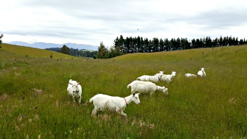 This is not one of the ingredients, but a supplier of the milk - goats-on-pasture