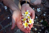 Fleurs de thiaré