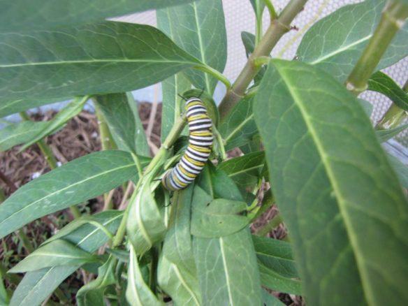 Monarch caterpillar on Tropical milkweed