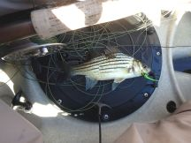Yellow bass on a chartreuse clouser.