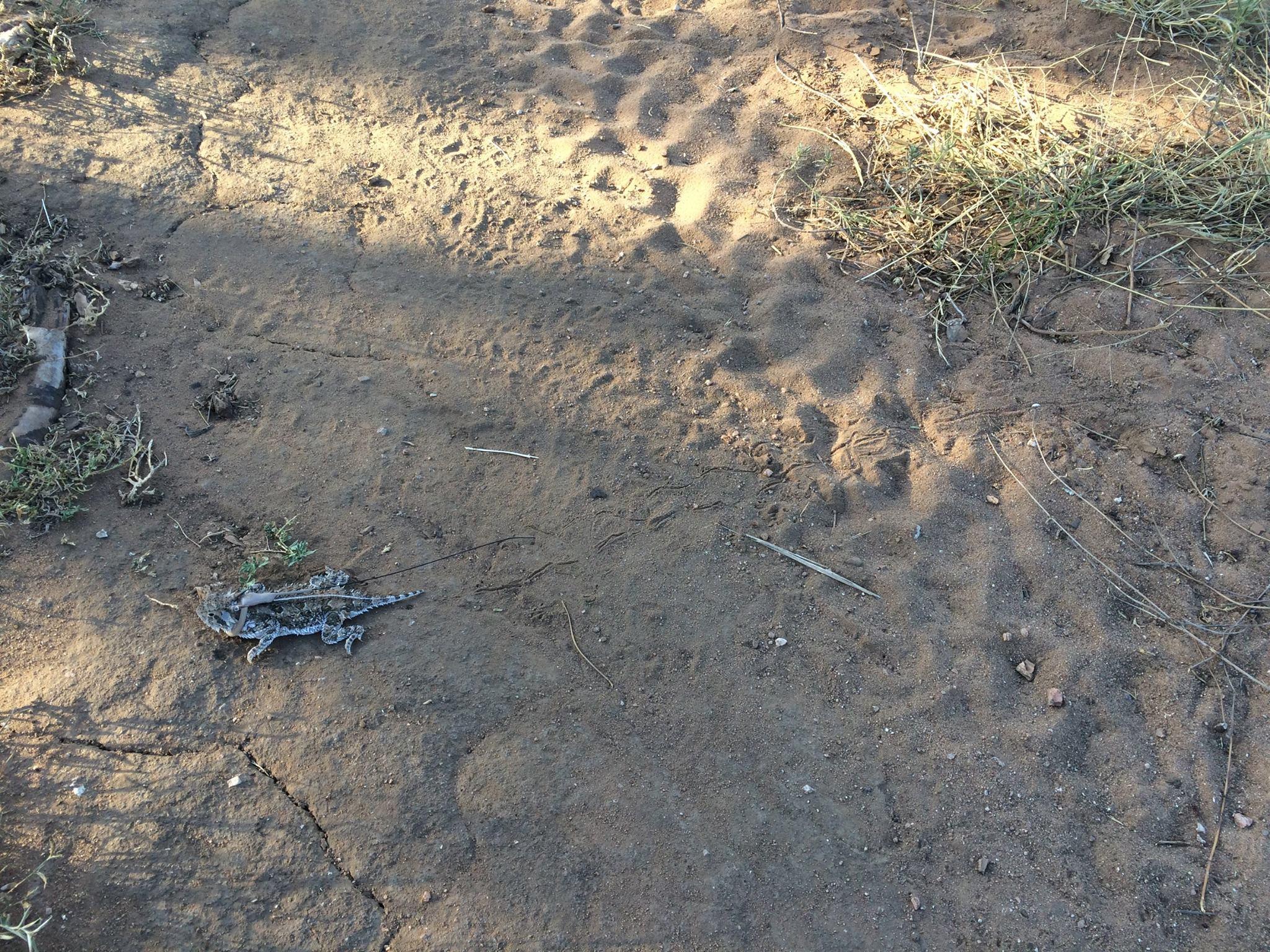 texas horned lizard standing