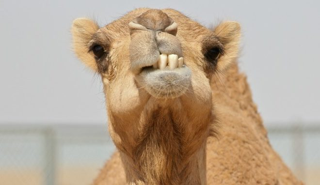 Cute Wallpapers In History The Camel Corps Why Did The U S Army Bring Camels To Texas