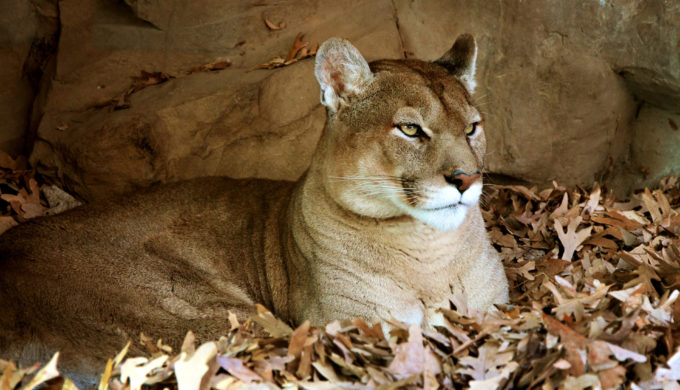 Bold  Brazen Mountain Lion Takes Family Pet From the Side of a Sleeping Child