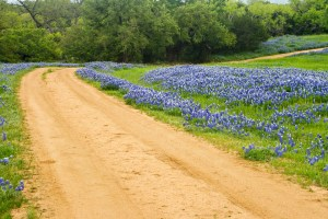 Bluebonnets in a field on Willow City Loop