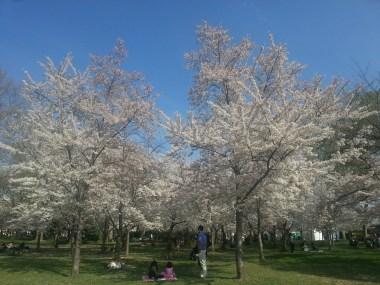 7_DC_ Cheery Blossom
