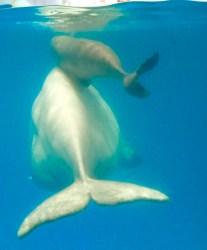 beluga seaworld san whale antonio baby calf whales born nursing mom wild bellows president