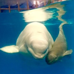 beluga baby seaworld whale whales born calf antonio san birth committed caring zoological facilities