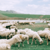 Sheep Needs A Shepherd