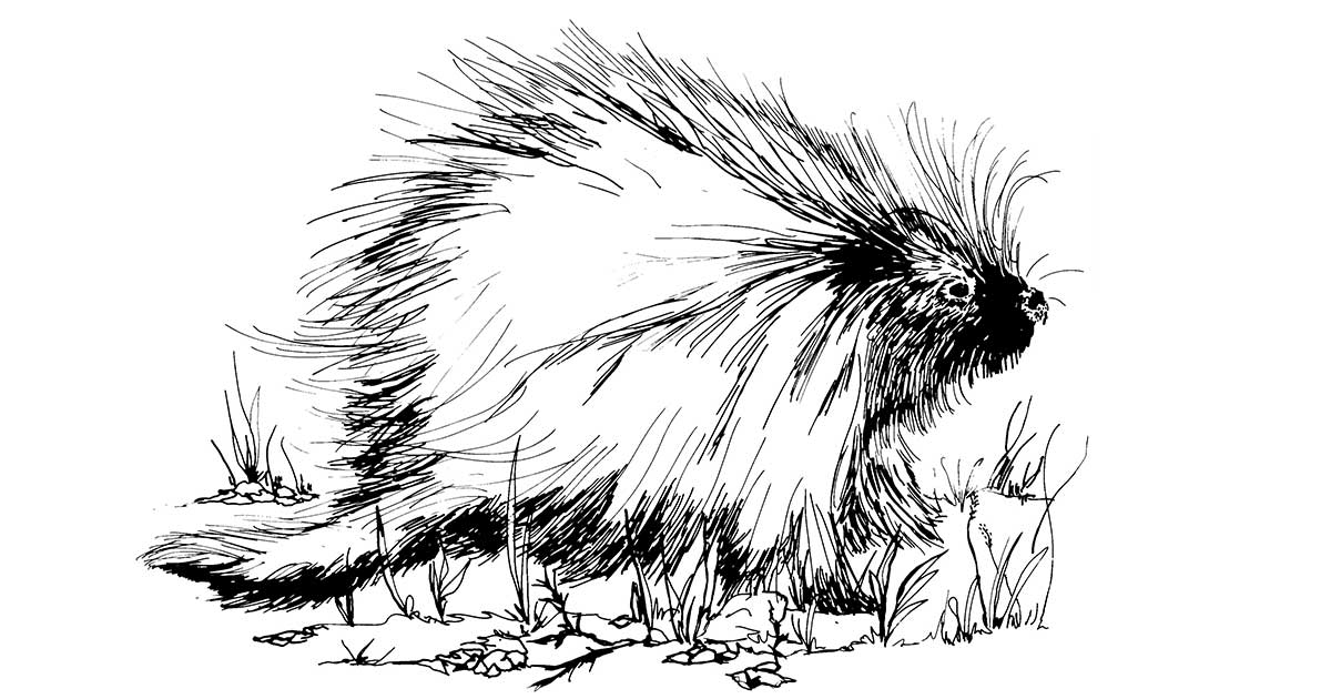 Porcupines in Texas are Moving East