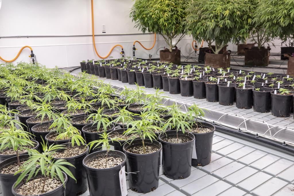 Compassionate Cultivation makes first sale under expanded medical cannabis program