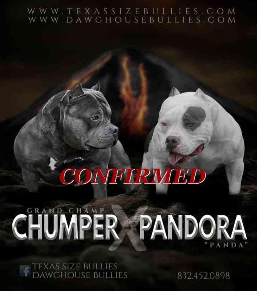 Panda American Bully Pups for Sale | Pocket American Bully Breeders