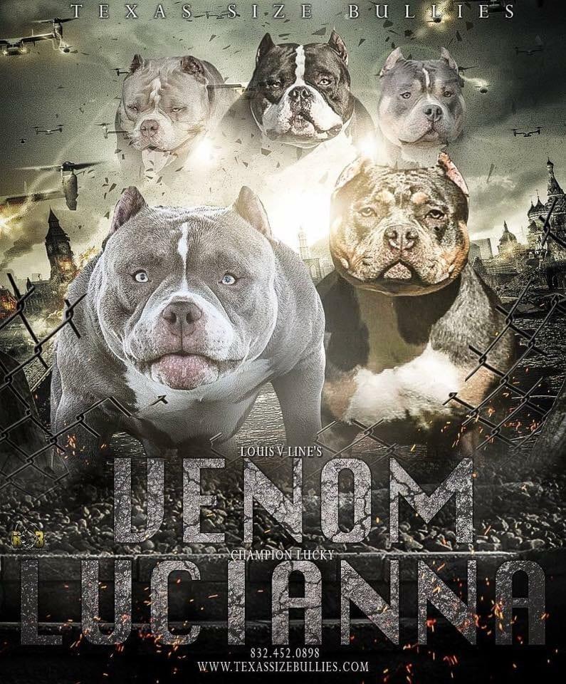 Louis V Lines Venom X Champion Lucky Lucianna | American Bully Stud