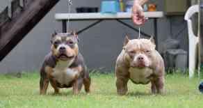 Upcoming Breeding | Top American Bully Breeders | Best Bully Bloodline