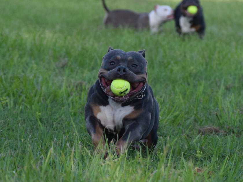Best American Bully Dog Food, Supplements \u0026 Training ...