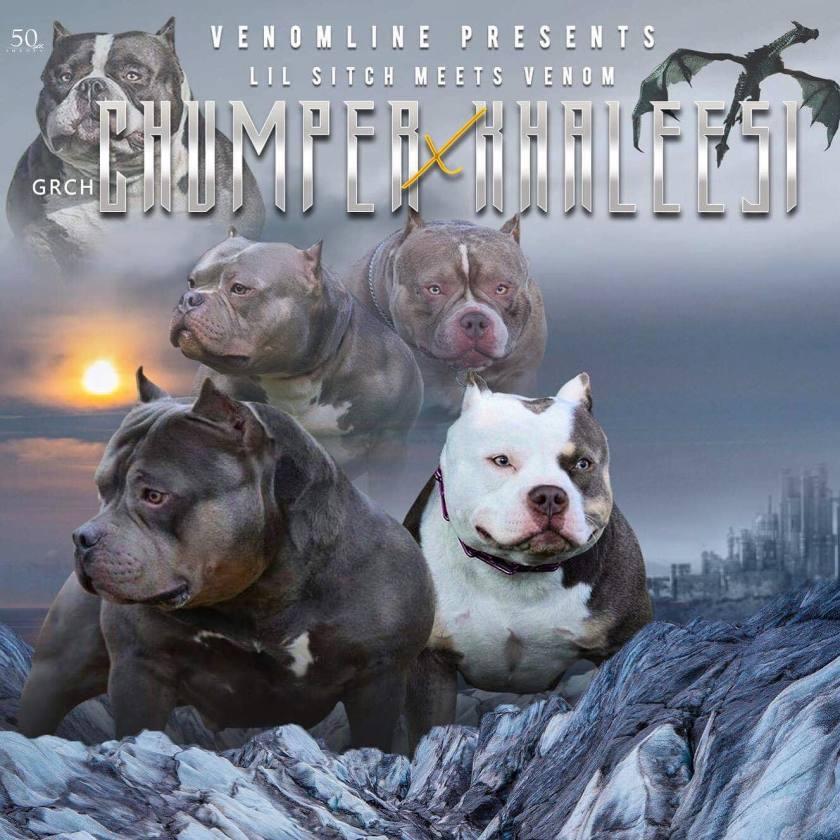 Pocket Bully Breeding | Pocket American Bully Pups for Sale | Venomline
