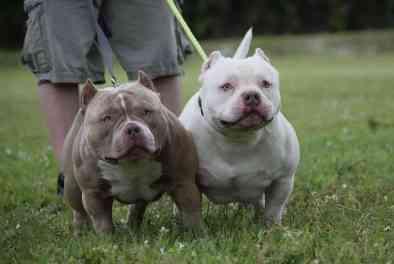 , Venomline Photos, Venomline   Texas Size Bullies
