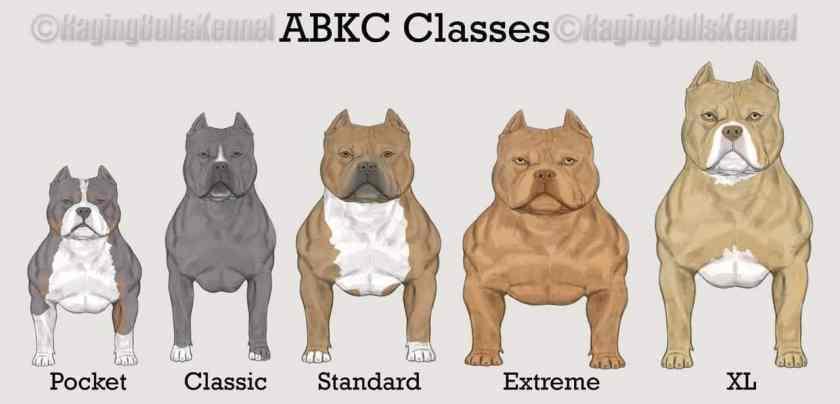 AMERICAN BULLY CLASSES