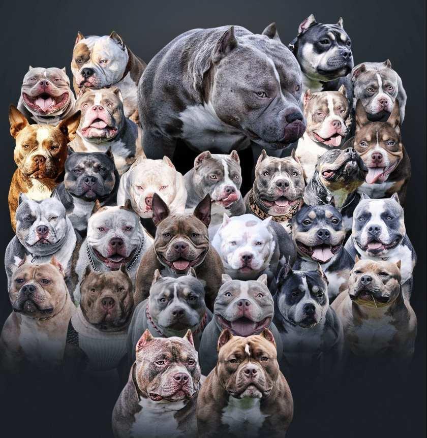 Venomline, American Bully Kennels, Best Pocket Bully Kennels, Pocket Bully Breeders, Pocket Bully Kennels, Top American Bully Breeders, Best Bully Bloodline