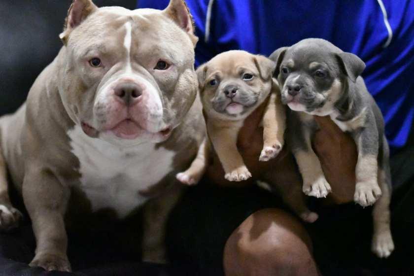 Louis V Line's Venom puppies for sale