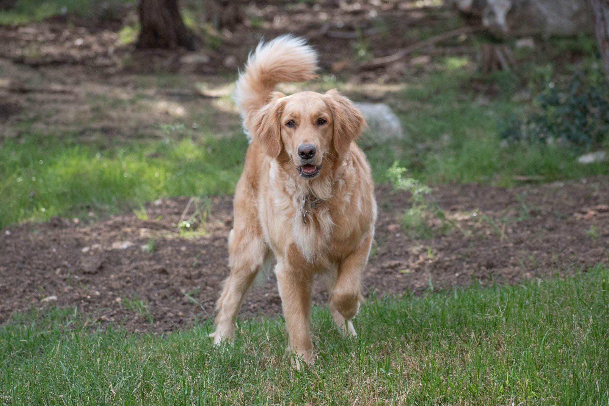 Articles and News | Texas TLC Goldens | Golden Retrievers