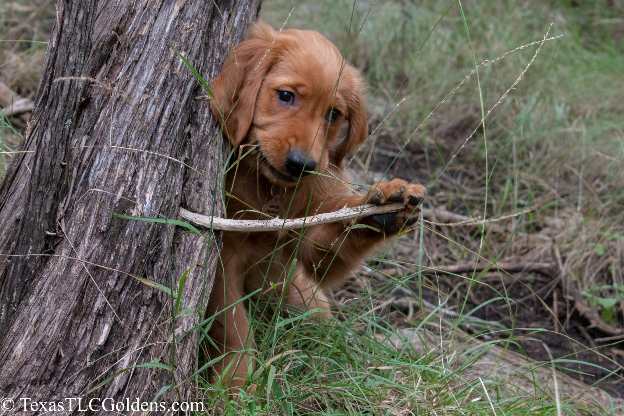Shipping Golden Retriever Puppies | | Texas TLC Goldens