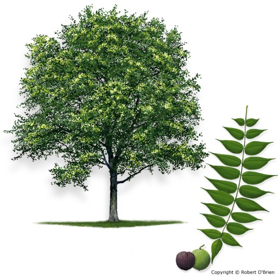 walnut_black150.jpg