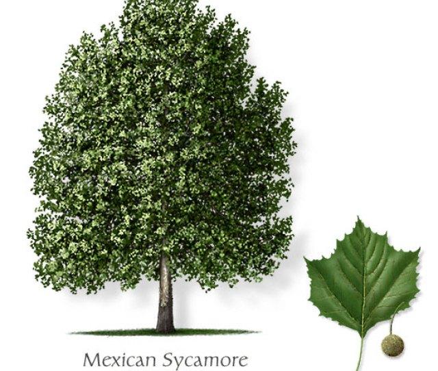 Mexican Sycamore