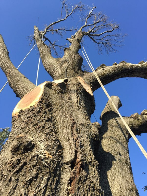 Rigging in Large Tree