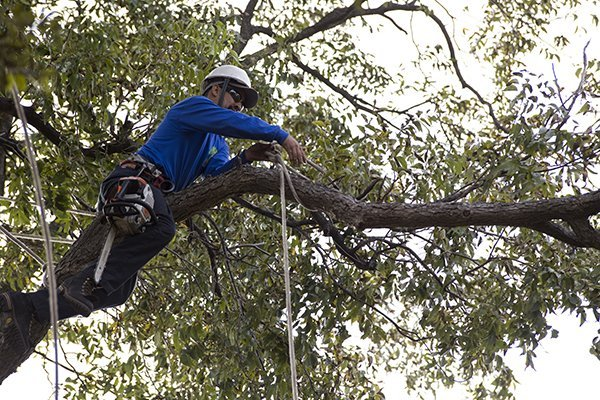 tree trimming in frisco