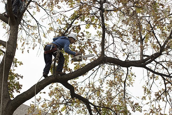 Man in a tree with chainsaw