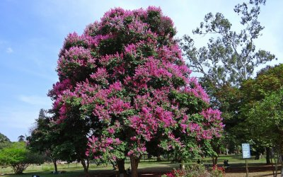 A Guide to Crape Myrtles
