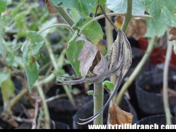 Proboscidea louisianica seed pods