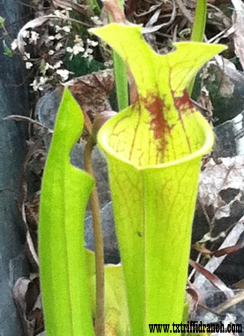 Sarracenia hybrids emerging from dormancy