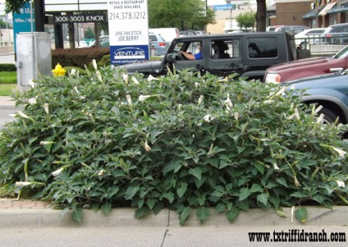 Datura clump on Knox Avenue