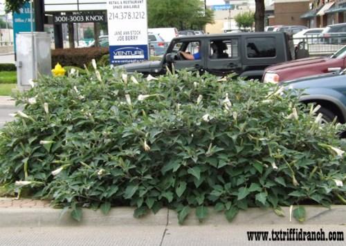 Datura clump on Knox Avenue