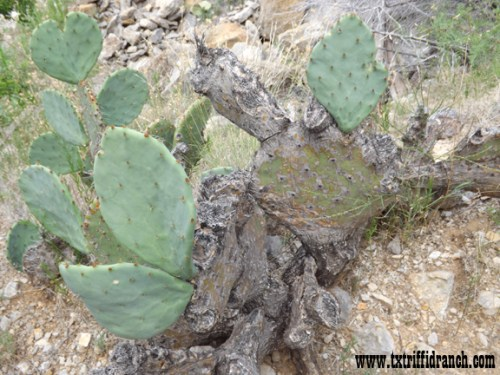Old Opuntia