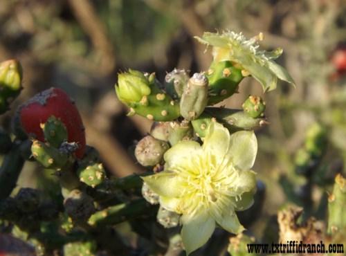 O. leptocaulis blooms