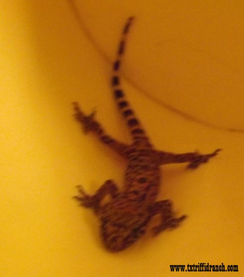 Baby gecko 2