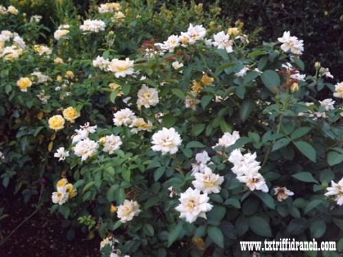 Julia Child roses