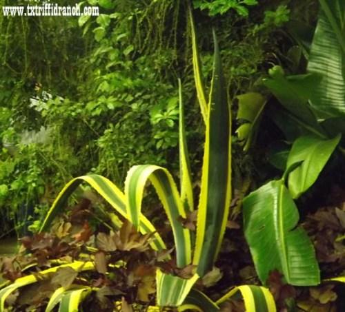 Greenhouse manguey